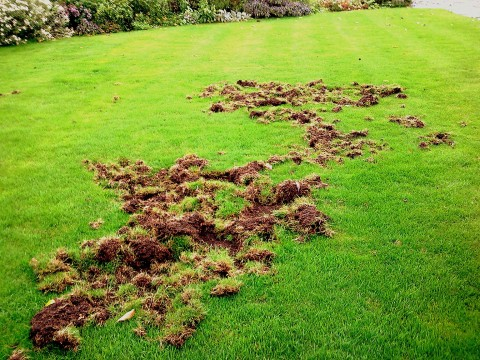 have you seen what badgers can do to ones' prized lawn? Off with their heads!
